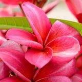 Rote Frangipaniblumen lizenzfreie stockfotos