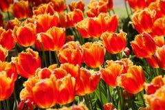 Rote Franse der Tulpen geschienen durch die Sonne stockfoto