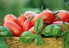 Rote Früchte der Tomate mit Basilikumblatt Stockfotografie