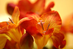 Rote Freesias Stockbilder