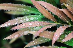 Rote frische Blätter mit Wassertropfen Lizenzfreie Stockfotografie