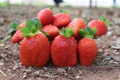Rote frische Erdbeeren auf dem Gebiet geschmackvoll Stockfoto