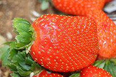 Rote frische Erdbeeren auf dem Gebiet geschmackvoll Lizenzfreie Stockfotos