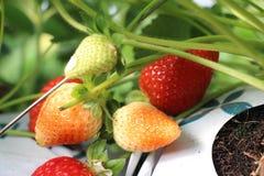Rote frische Erdbeeren auf dem Gebiet geschmackvoll Lizenzfreies Stockfoto