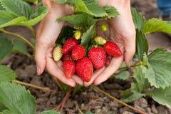 Rote frische Erdbeeren in den Frauenhänden Lizenzfreies Stockfoto