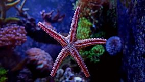 Rote Fromia-Eleganz Starfish Lizenzfreie Stockbilder