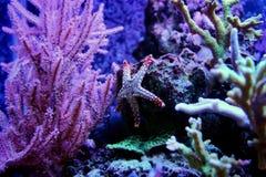 Rote Fromia-Eleganz Starfish im Marineaquarium Stockbild