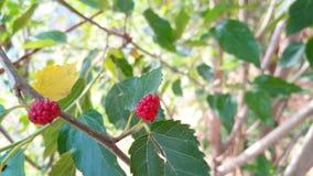 Rote Frucht Lizenzfreies Stockfoto
