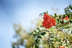 Rote Frucht auf den grünen Niederlassungen der Eberesche Lizenzfreie Stockbilder