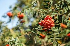 Rote Frucht auf den grünen Niederlassungen der Eberesche Lizenzfreies Stockfoto