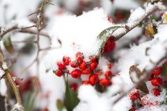 Rote Frucht im weißen Schnee Lizenzfreies Stockfoto