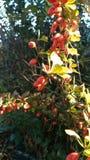 Rote Frucht von wildem stieg (Rosa-canina) in Herbst mit sonnigem Hintergrundsonnenuntergang stockfotos