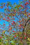 Rote Frucht von wildem stieg (Rosa-canina) in Herbst mit sonnigem Hintergrundsonnenuntergang Stockbilder
