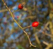 Rote Frucht von wildem stieg (Rosa-canina) in Herbst mit sonnigem Hintergrundsonnenuntergang Lizenzfreie Stockfotografie