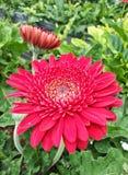 Rote Gänseblümchen Stockbild