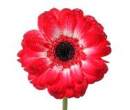 Rote Gänseblümchenblume Lizenzfreie Stockbilder