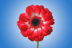 Rote Gänseblümchenblume Stockfotos