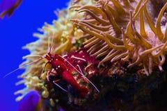 Rote Garnele Lysmata-debelius Feuers im Salzwasserbehälter Lizenzfreie Stockfotografie