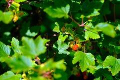 Rote Gartenkorinthe Stockbilder