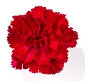 Rote Gartennelke lizenzfreie stockbilder