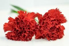 Rote Gartennelke Stockfotos