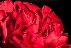 Rote Gartennelke stockbilder