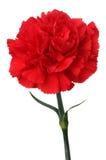 Rote Gartennelke auf weißem Hintergrund. (Vertikale) stockfotografie