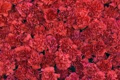 Rote Gartennelke blüht Hintergrund Blütenbeschaffenheit Sommermuster Lizenzfreie Stockfotografie