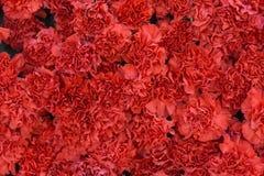 Rote Gartennelke blüht Hintergrund Blütenbeschaffenheit Sommermuster Lizenzfreies Stockbild