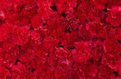 Rote Gartennelke blüht Hintergrund Blütenbeschaffenheit Sommermuster Lizenzfreies Stockfoto