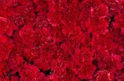 Rote Gartennelke blüht Hintergrund Blütenbeschaffenheit Sommermuster Lizenzfreie Stockbilder