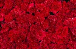 Rote Gartennelke blüht Hintergrund Blütenbeschaffenheit Sommermuster Stockfoto