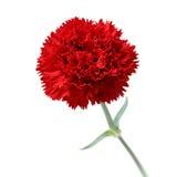 Rote Gartennelke, Tag des Mutter stockfotografie