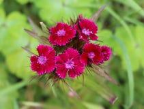 Rote Gartennelke Wildflowernahaufnahme stockfoto