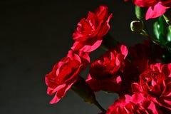 Rote Gartennelken Stockfoto