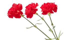 Rote Gartennelken Stockfotos