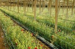 Rote Gartennelken, die auf einer Plantage wachsen Lizenzfreie Stockfotos