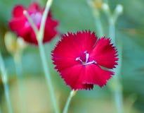 Rote Gartennelken gegen einen gr?nen Hintergrund stockbild