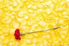 Rote Gartennelkenblume Lizenzfreie Stockfotografie