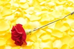 Rote Gartennelkenblume Stockfotos