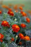 Rote Gartennelkenblumen Lizenzfreie Stockbilder