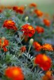 Rote Gartennelkenblumen Lizenzfreie Stockfotos
