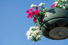 Rote Gartenpelargonienblumen, Abschluss herauf Schuss/Pelargonie blüht,/Lavatera-/Sommerpetunienblumen in der Zeit des Gartens im Stockfoto