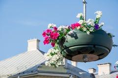 Rote Gartenpelargonienblumen, Abschluss herauf Schuss/Pelargonie blüht,/Lavatera-/Sommerpetunienblumen in der Zeit des Gartens im Stockbild