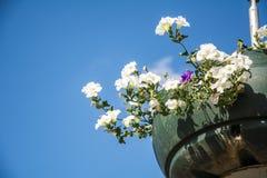Rote Gartenpelargonienblumen, Abschluss herauf Schuss/Pelargonie blüht,/Lavatera-/Sommerpetunienblumen in der Zeit des Gartens im Lizenzfreie Stockfotografie