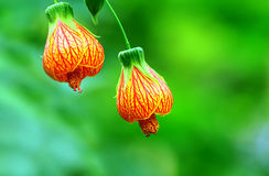 Rote geäderte Abutilonblumen Stockfotografie