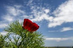 Rote Gebirgspfingstrosen (Paeonia tenuifolia) bei Zau de Campie Stockfotos