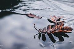 Rote gefallene Ebereschenbaumblätter lagen auf dünnem Eis stockbilder