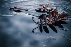 Rote gefallene Ebereschenbaumblätter lagen auf dünnem Eis stockfoto