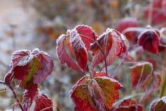 Rote gefrorene Blätter, die Wintermorgen symbolisieren Stockfoto